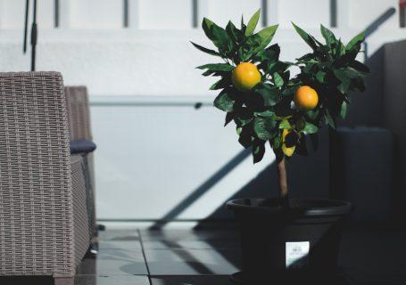 Hiverner son citronnier